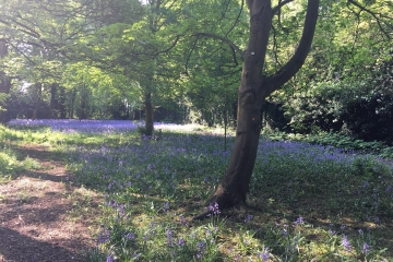 woodland walk bluebells 2018